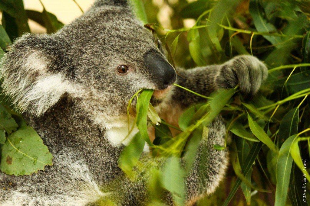 Koala at the Lone Pine Koala Sanctuary, Brisbane, Australia - Traveling Around Australia