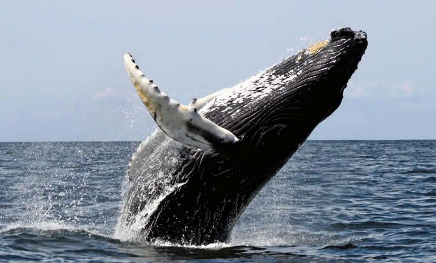 Things to do in Punta Uvita, Humpback Whale spotted in Costa Ballena. Puntarenas. Costa Rica
