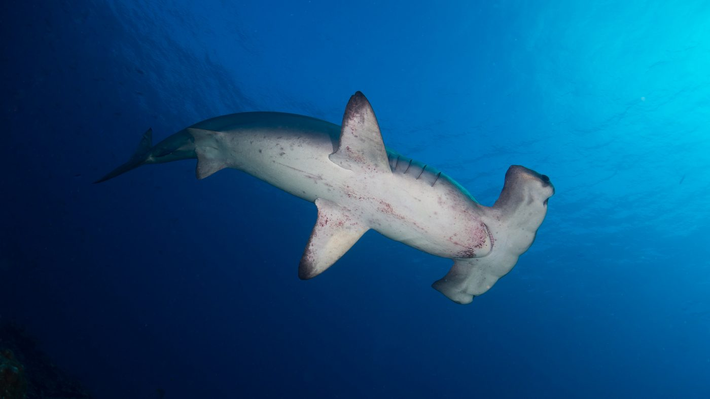 Guide to Scuba Diving in Costa Rica, Scalloped Hammerhead