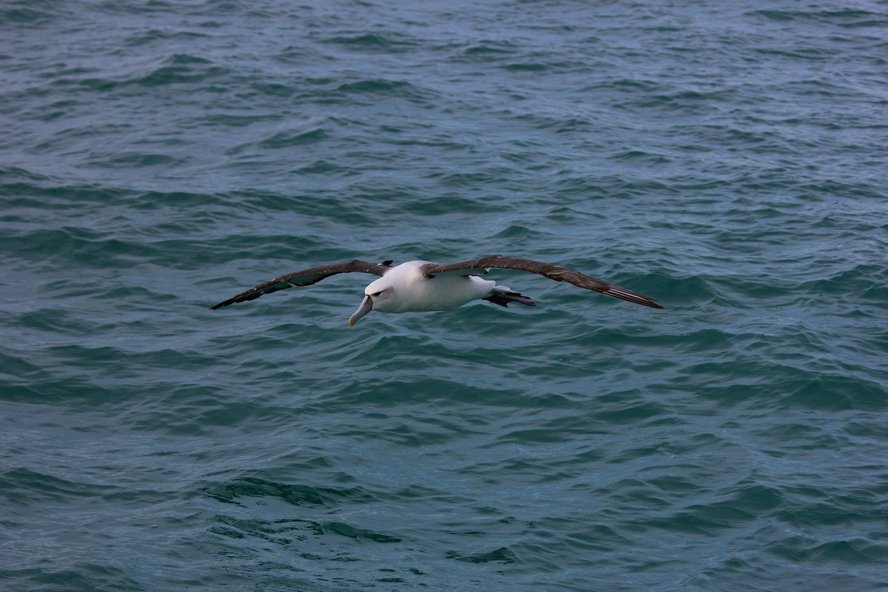 Royal Albatross flying over water. A must see in New Zealand