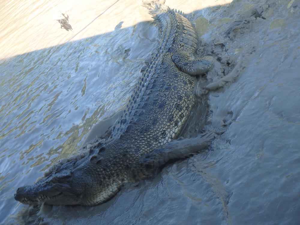 What to do in Darwin: Salt water crocodile