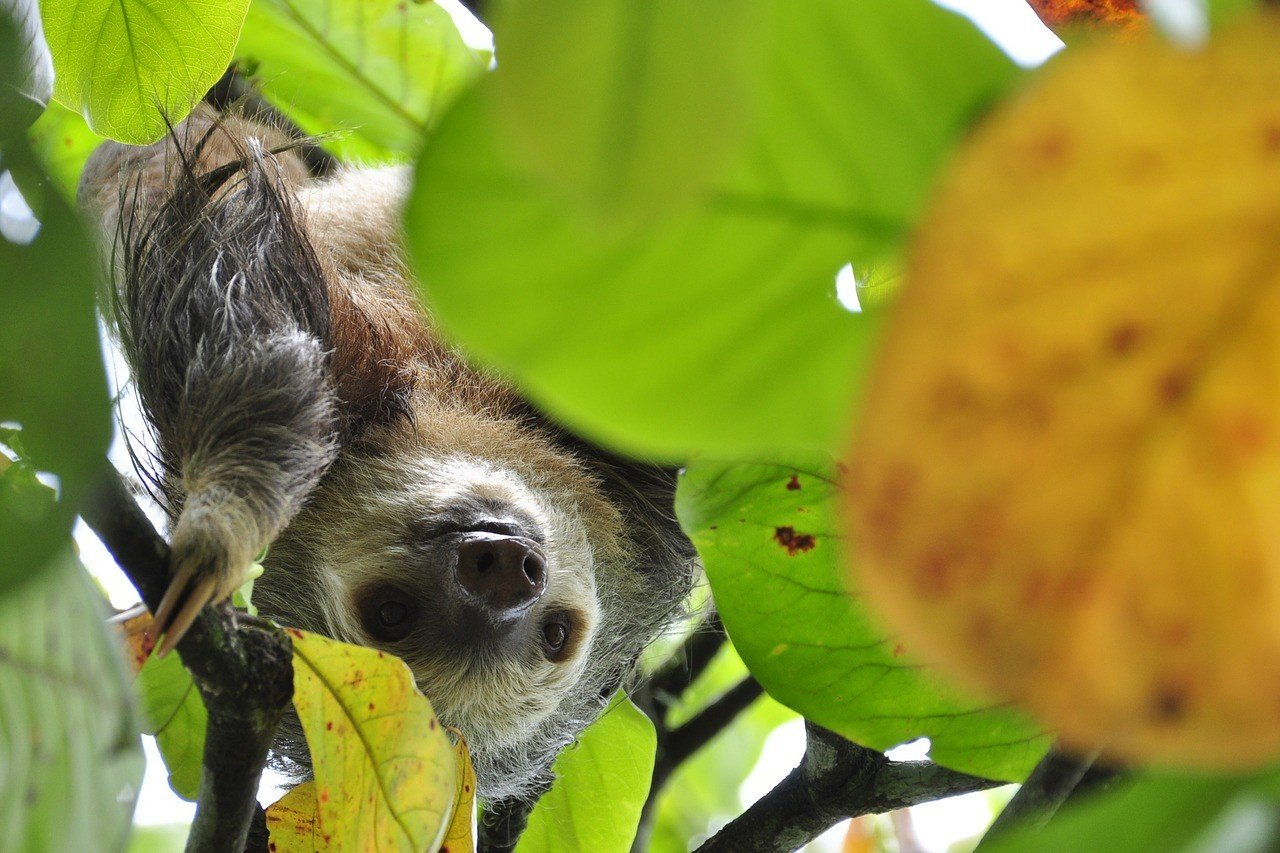 Where to See Sloths in Costa Rica in the Wild